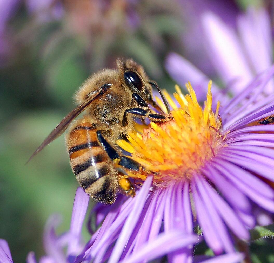 1280px-European_honey_bee_extracts_nectar-1
