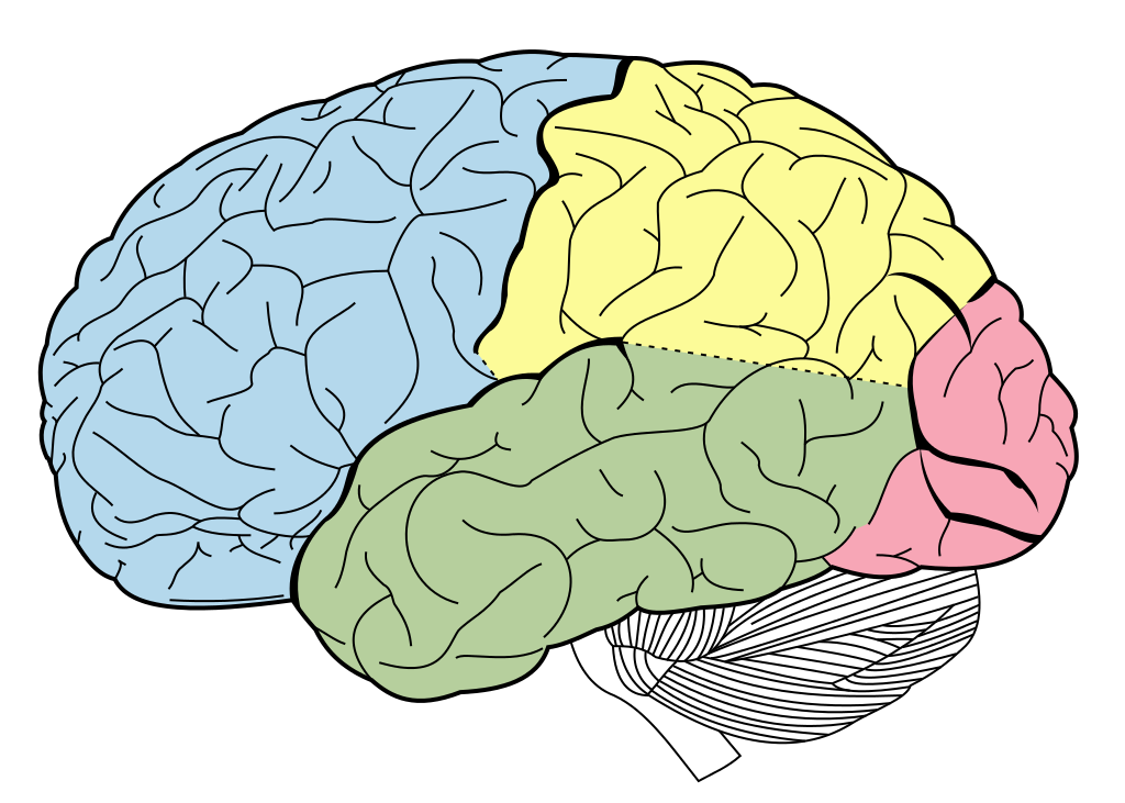1024px-lobes_of_the_brain_nl-svg